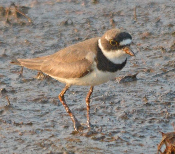 Semipalmated Plover 2018-5