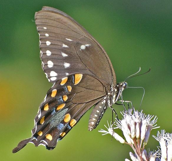 Spicebush Swallowtail 31
