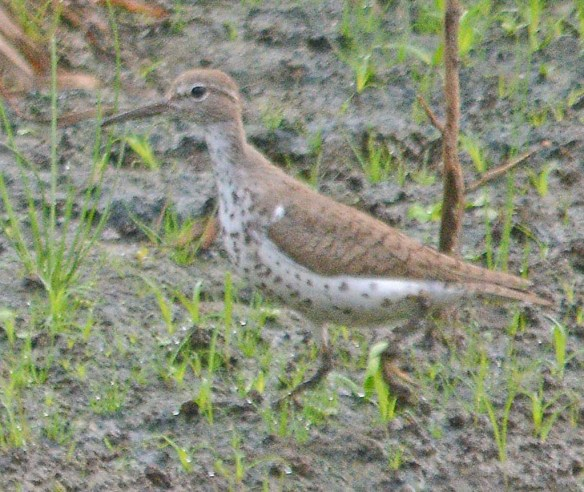Spotted Sandpiper 2018-8