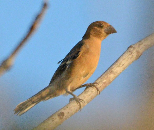 Blue Grosbeak 2018-14