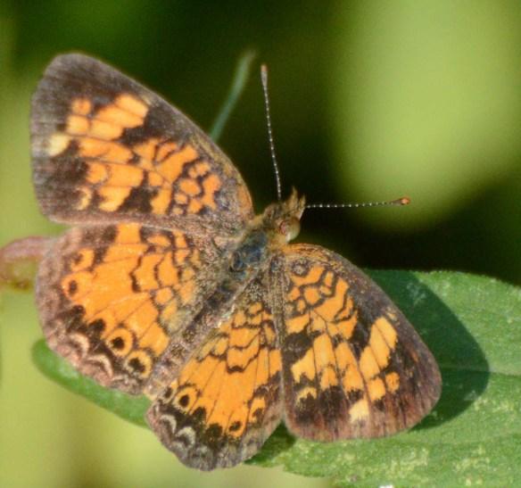 Butterfly 75