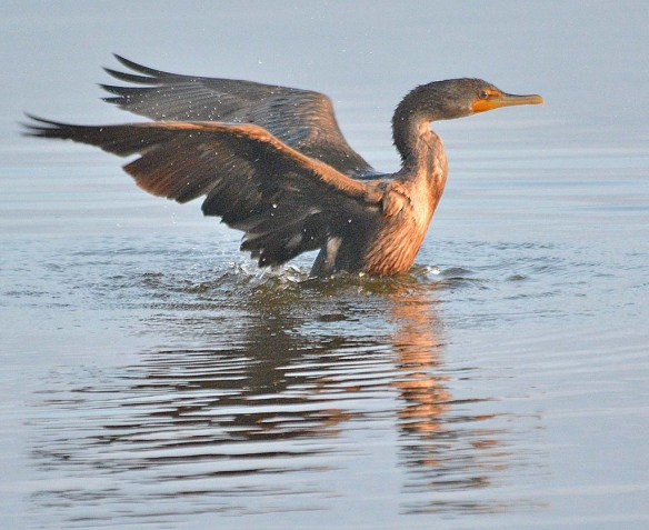 Double Crested Cormorant 2018-12