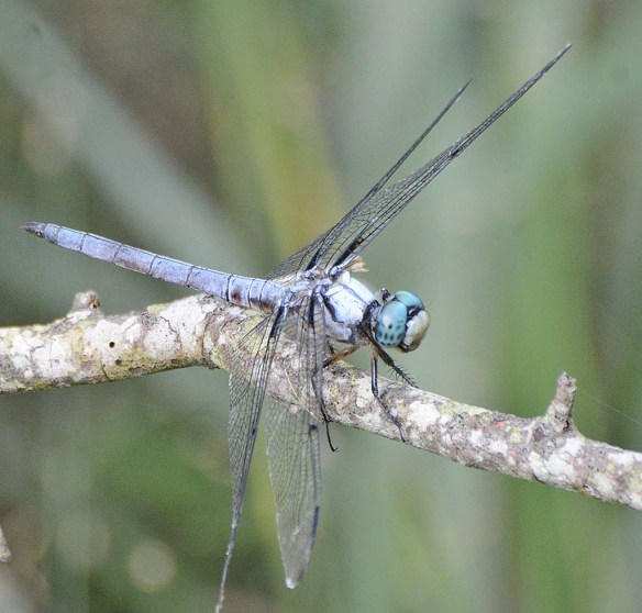 Dragonfly 121