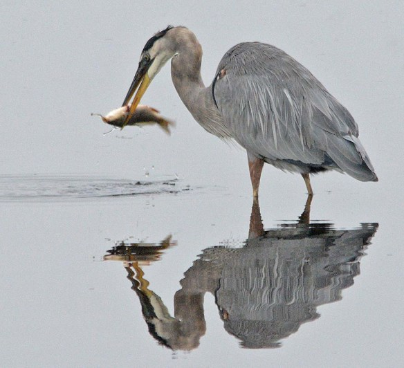 Great Blue Heron 2018-68