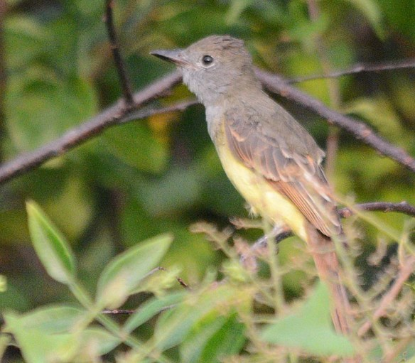 Great Crested Flycatcher 2018-6