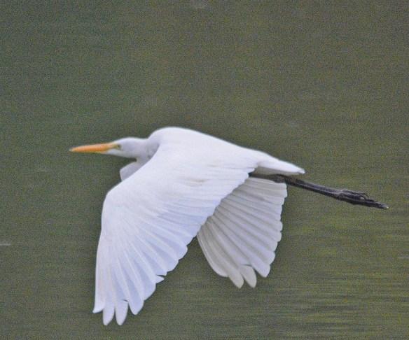 Great Egret 2018-60