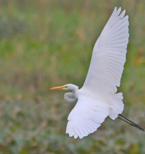 Great Egret 2018-61