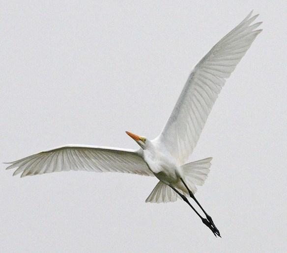 Great Egret 2018-63
