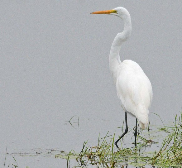 Great Egret 2018-80