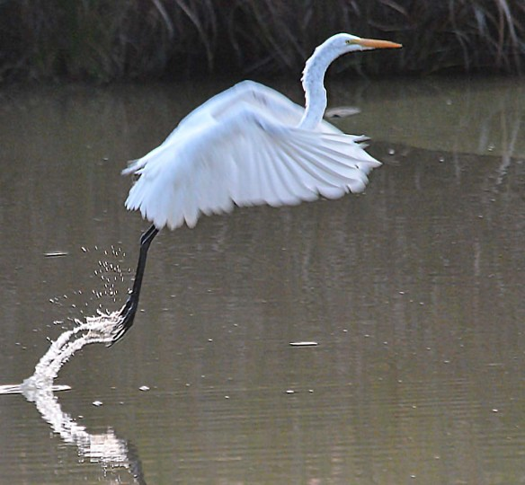 Great Egret 2018-87