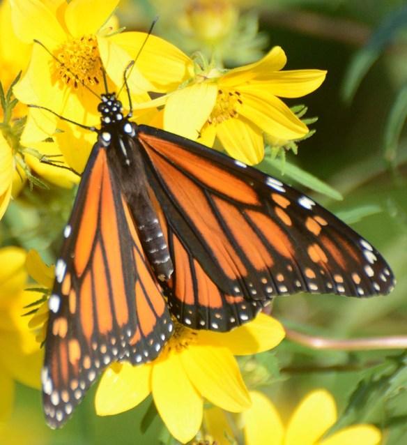 Monarch 61