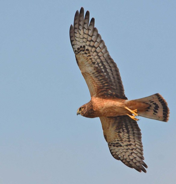 Northern Harrier 2018-4