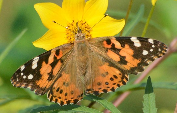 Painted Lady 7