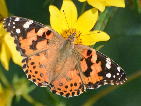 Painted Lady 8