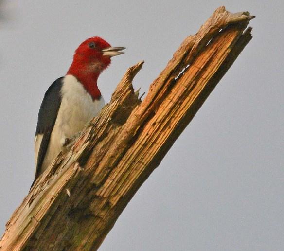 Red Headed Woodpecker 2018-53