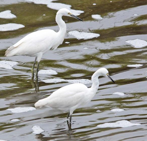 Snowy Egret 2018-30