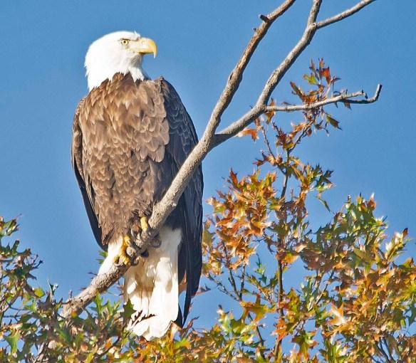 Bald Eagle 2018-72