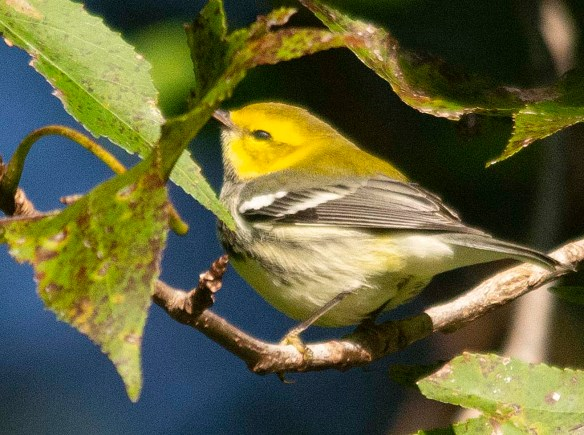 Black Throated Green Warbler 2018-1