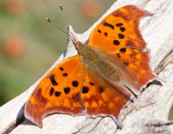 Butterfly 76
