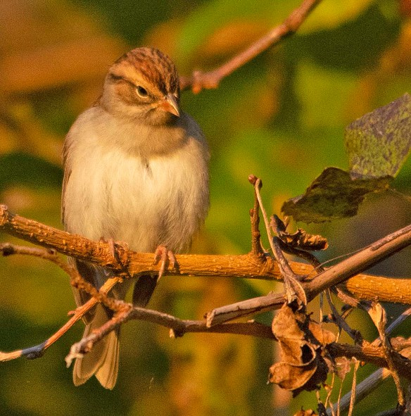 Chipping Sparrow 2018-10