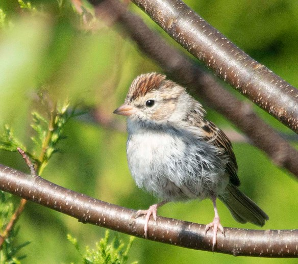 Chipping Sparrow 2018-8