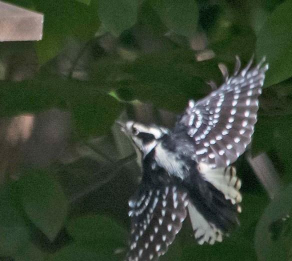 Downy Woodpecker 2018-7