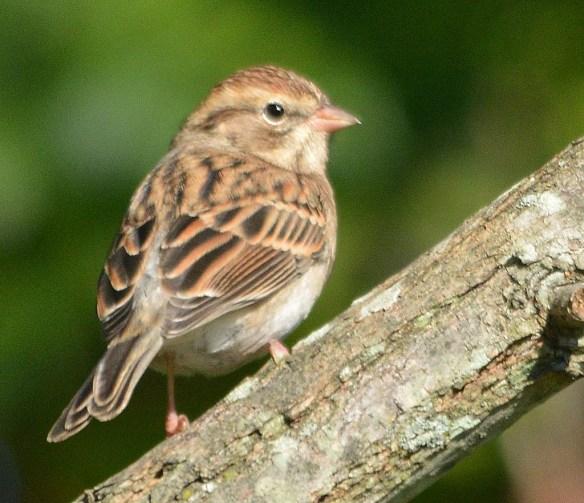 Field Sparrow 2018-2