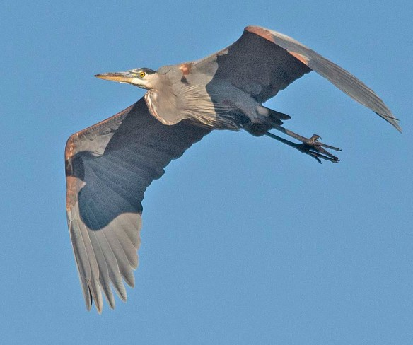 Great Blue Heron 2018-80