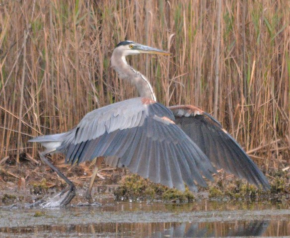 Great Blue Heron 2018-81