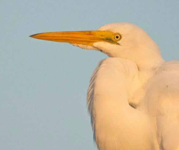 Great Egret 2018-94