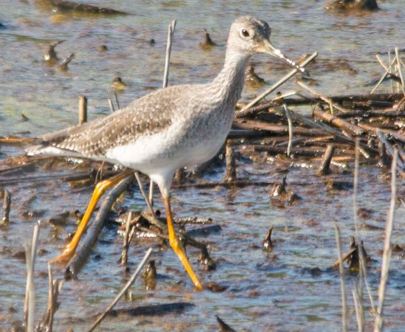 Greater Yellowlegs 2018-17