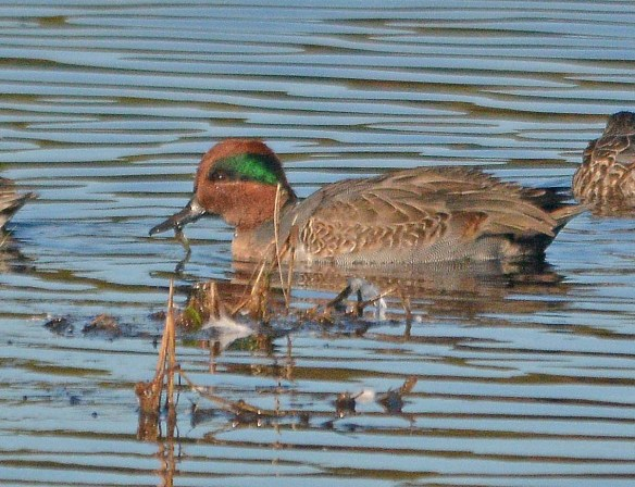 Green Winged Teal 2018-5