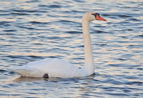 Mute Swan 2018-10