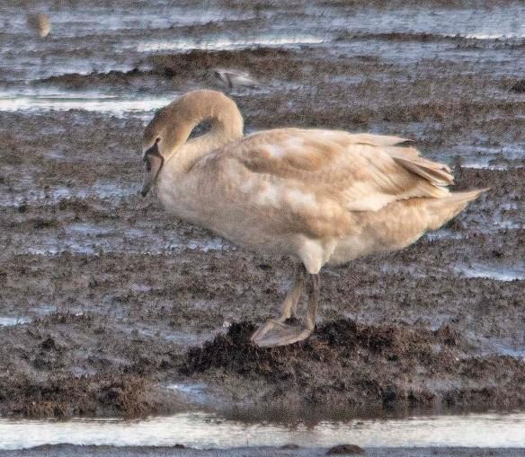 Mute Swan 2018-9