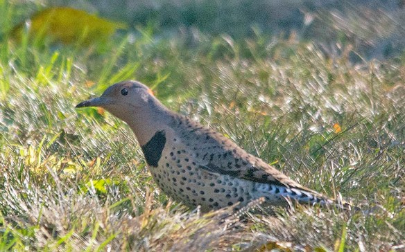 Northern Flicker 2018-5