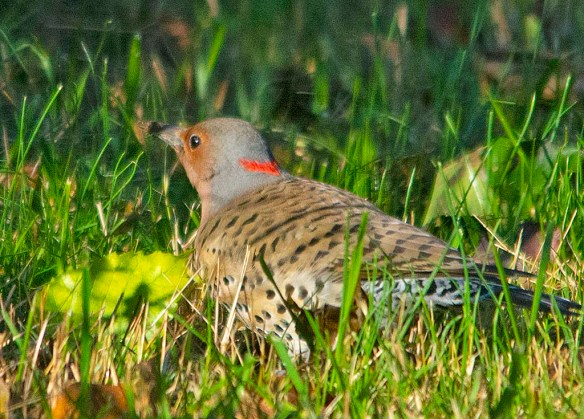 Northern Flicker 2018-7