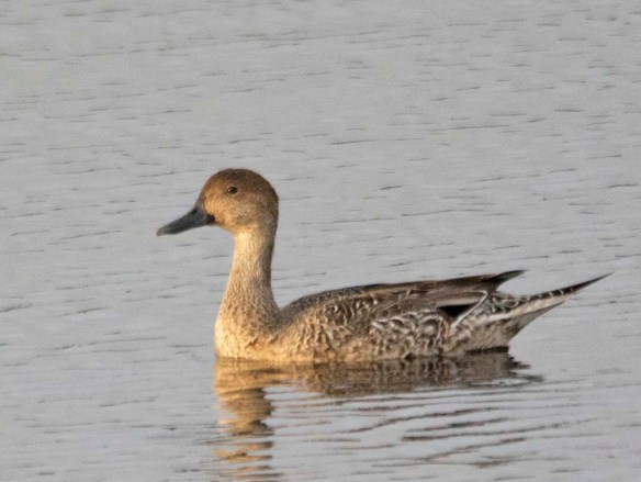 Northern Pintail 2018-11