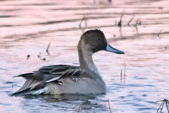 Northern Pintail 2018-15