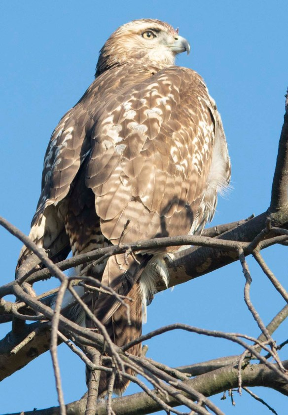 Red Tailed Hawk 2018-12