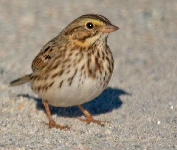 Savannah Sparrow 2018-4