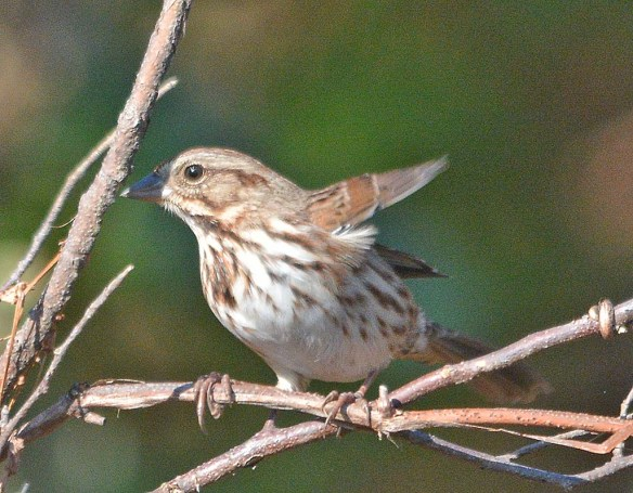 Song Sparrow 2018-18