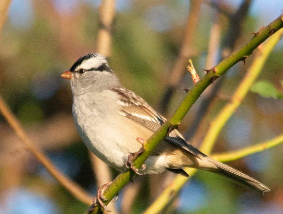 White Crowned Sparrow 2018-1