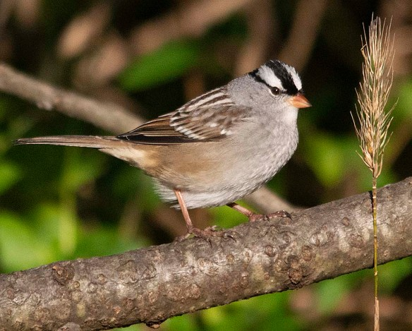 White Crowned Sparrow 2018-2