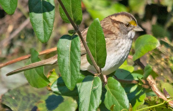 White Throated Sparrow 2018-5