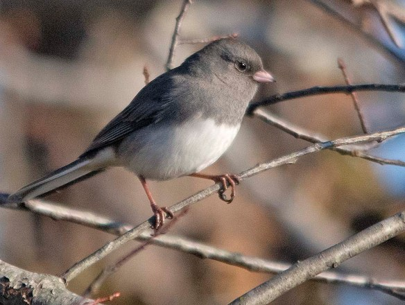 Dark Eyed Junco 2018-6
