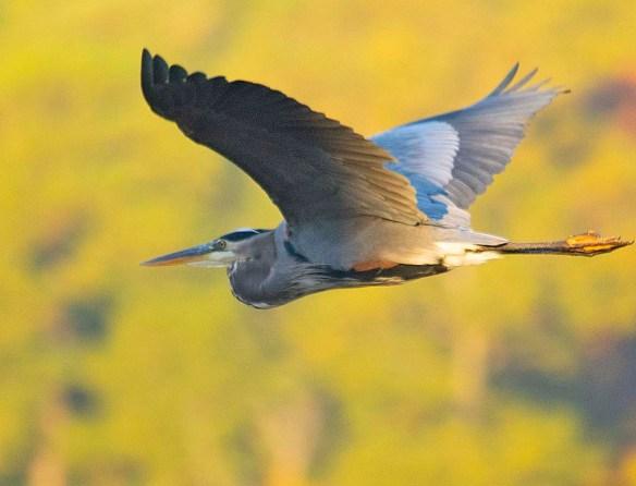 Great Blue Heron 2018-85