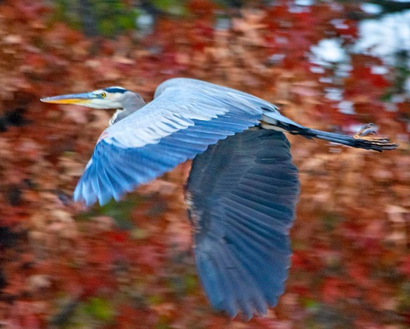Great Blue Heron 2018-89