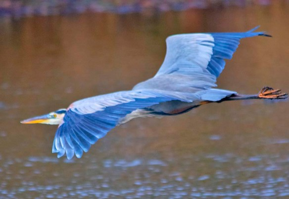 Great Blue Heron 2018-90