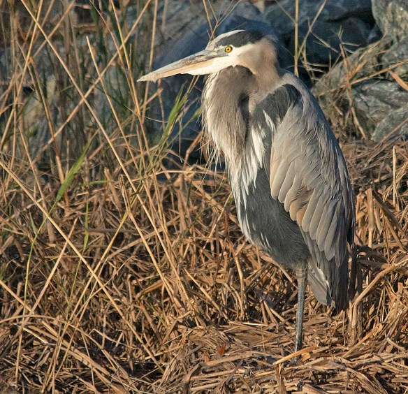 Great Blue Heron 2018-92