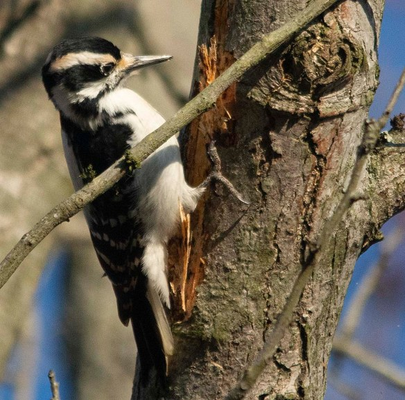 Hairy Woodpecker 2018-1